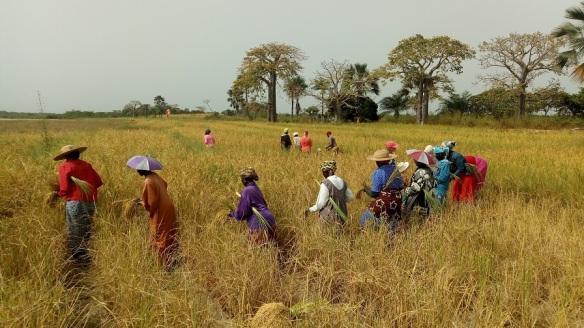 Dans les riziéres